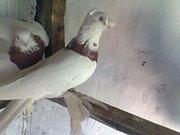 Продам голубей разных парод бойные декоративные.  Казахстан, Туркестан.